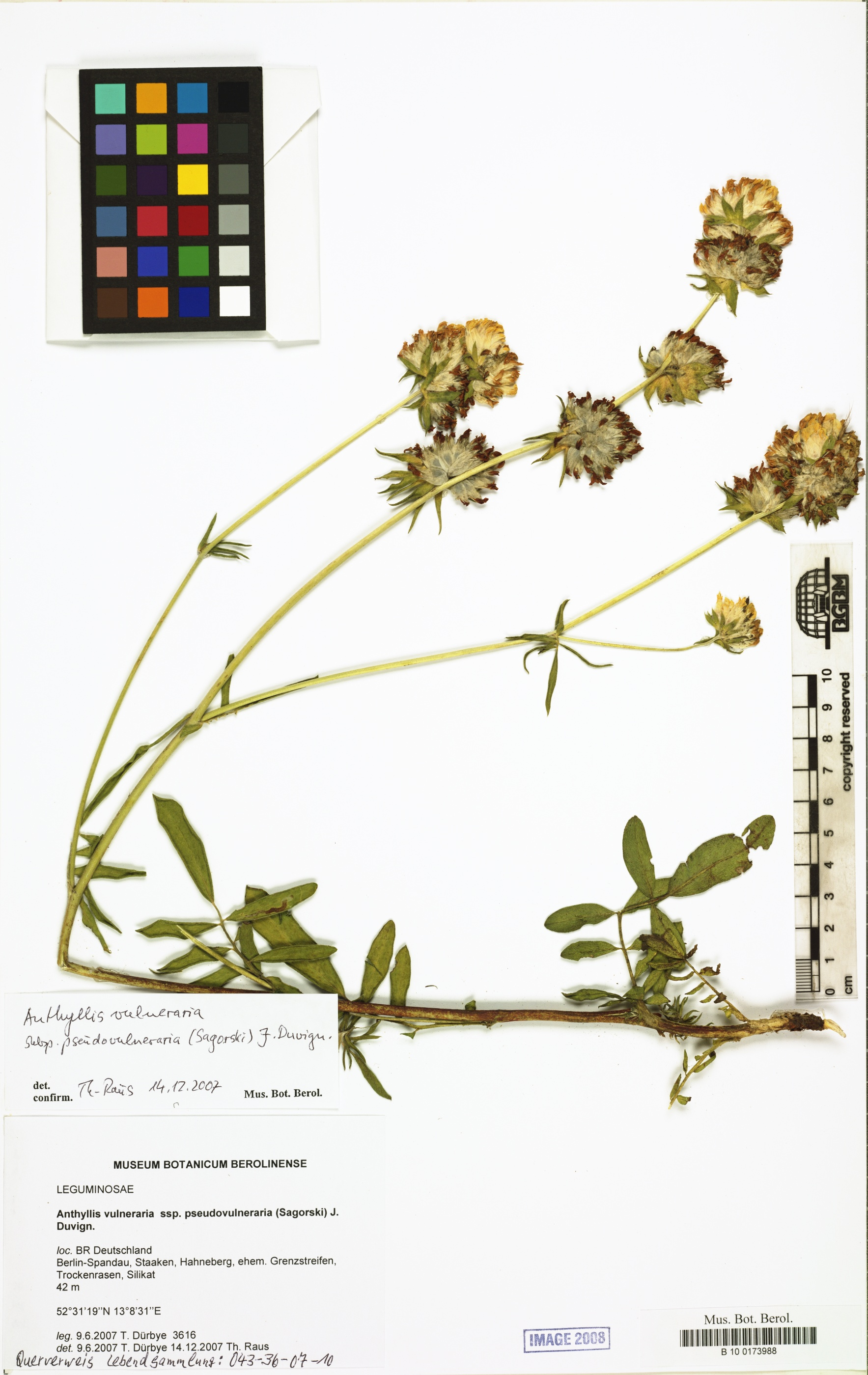 © Röpert, D. (Ed.) 2000- (continuously updated): Digital specimen images at the Herbarium Berolinense. - Published on the Internet http://ww2.bgbm.org/herbarium/ (Barcode: B 10 0173988 / ImageId: 291652) [accessed 24-Dec-12].<br>
