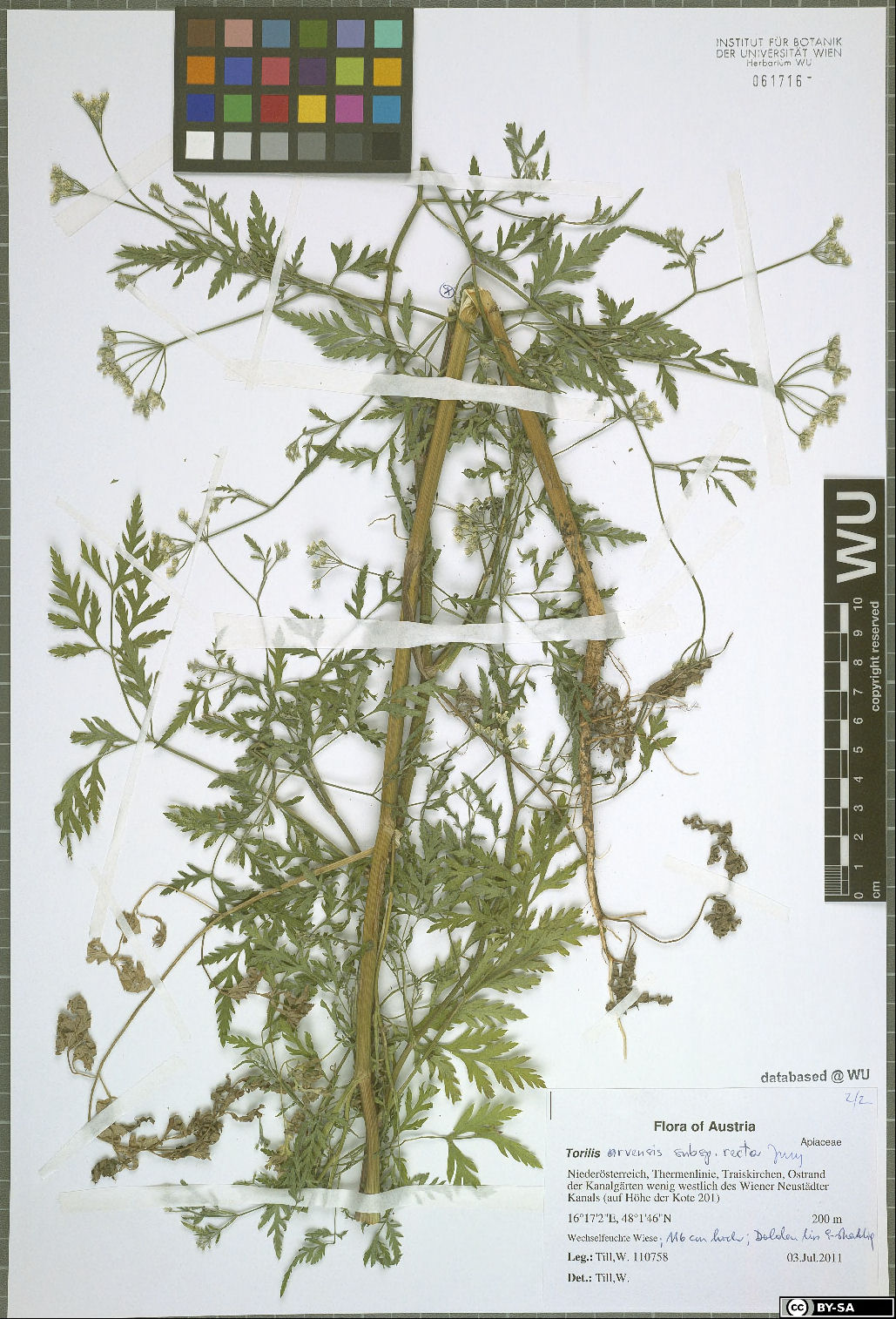 © University of Vienna, Institute for Botany - Herbarium WU - Rights: This work is licensed under a Creative Commons Attribution-ShareAlike 3.0 Unported License.  - Identifier: WU - Herbarium WU - 232511<br>