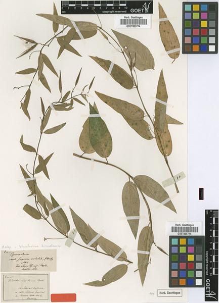 © Universität Göttingen (GOET), GOET005774 –type of Vincetosxicum laxum – source: http://plants.jstor.org/specimen/goet005774 accessed jan 10, 2013<br>