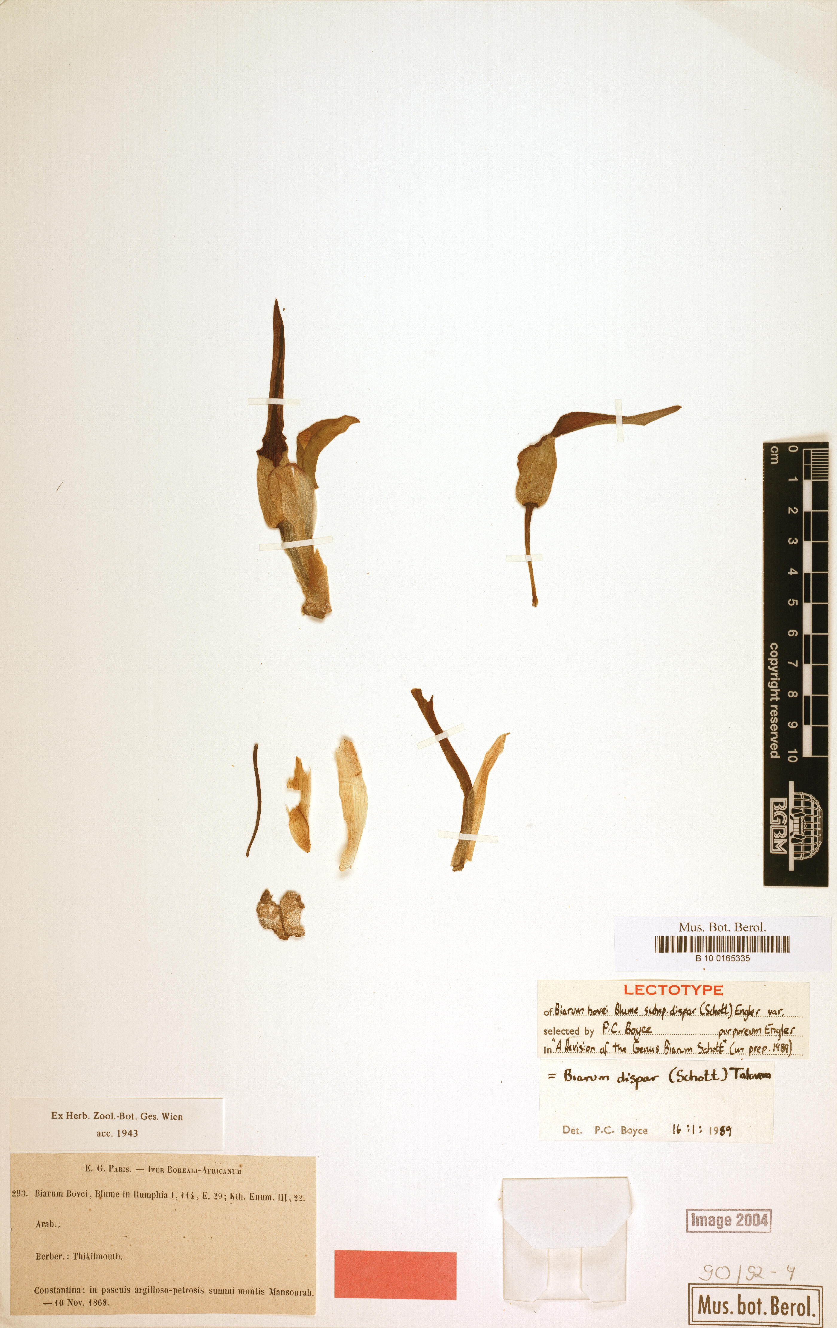 © Röpert, D. (Ed.) 2000- (continuously updated): Digital specimen images at the Herbarium Berolinense. - Published on the Internet http://ww2.bgbm.org/herbarium/ (Barcode: B 10 0165335 / ImageId: 229300) [accessed 10-Feb-13]. –CC-BY-SA<br>