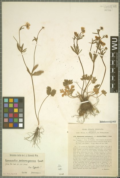 © University of Vienna, Institute for Botany - Herbarium WU - Provider: OpenUp! -Creative Commons Attribution-ShareAlike 3.0 Unported License<br>