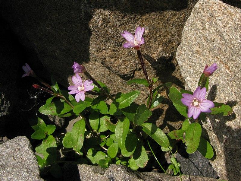 © Daniela Longo, foto da Forum Acta Plantarum<br>by Daniela Longo<br>M. Enciastraie , CN, Piemonte, Italia, 08/2009