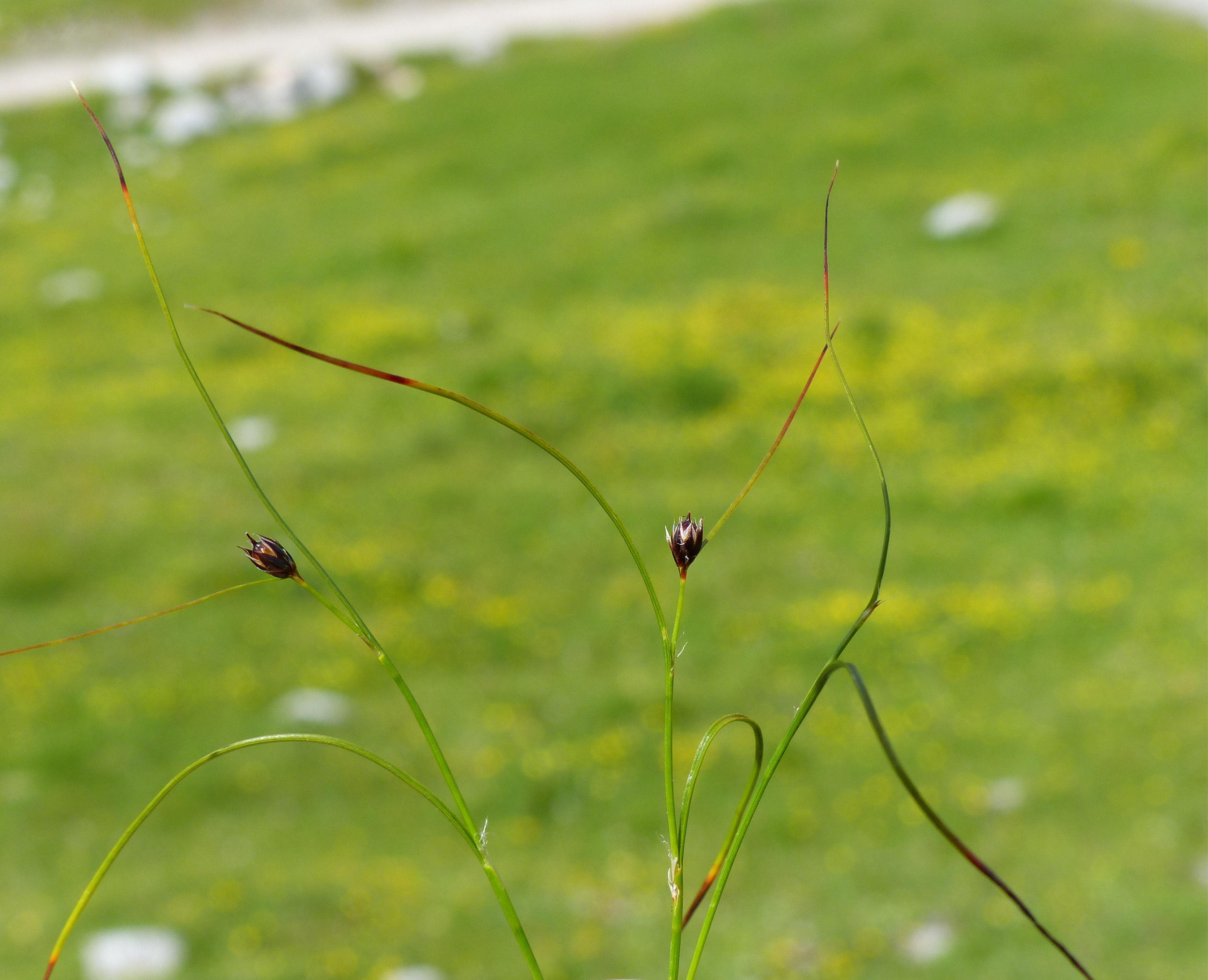 © Dipartimento di Scienze della Vita, Università degli Studi di Trieste<br>by Andrea Moro<br>Comune di Vigo Di Cadore, località Casera Razzo, nei pressi della malga, BL, Veneto, Italia, 14/07/2013<br>Distributed under CC-BY-SA 4.0 license.