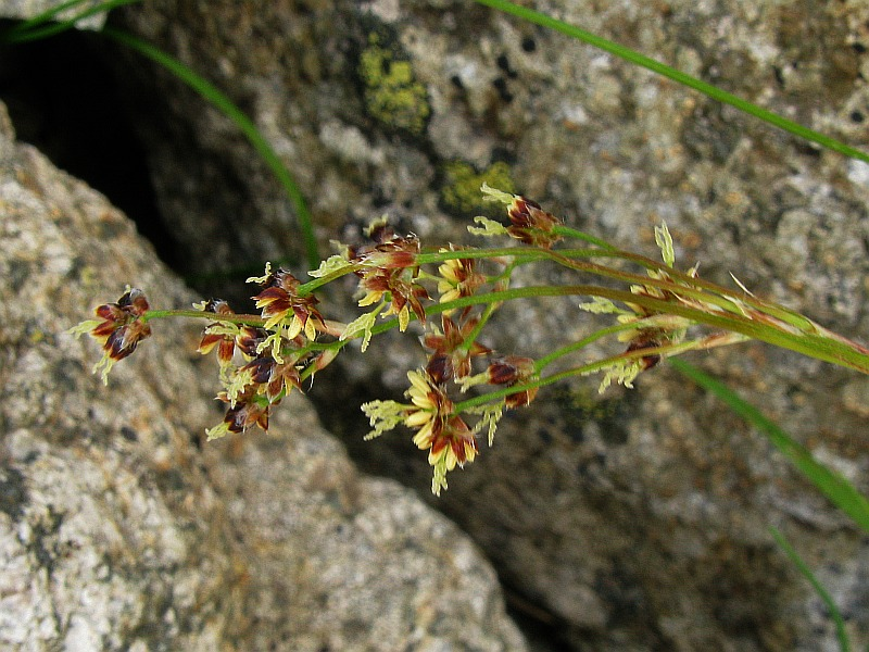 © Daniela Longo – Forum Acta Plantarum<br>by Daniela Longo<br>Passo del Laufser (CN), 2350 m, CN, Piemonte, Italia, 11/06/2007