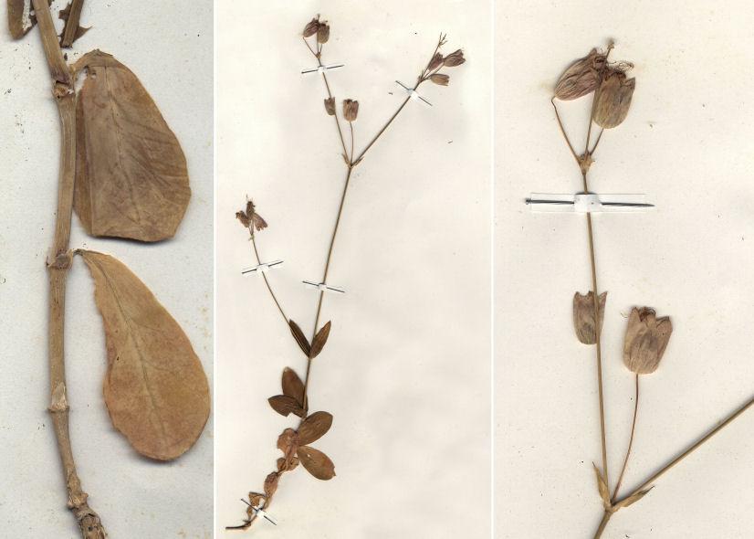 © © Hortus Botanicus Catinensis - Herb. sheet 001005, Herb. sheet 000555<br>