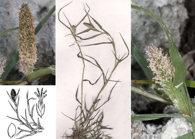 © Dipartimento di Scienze della Vita, Università degli Studi di Trieste<br>by D. Camprini, © Hortus Botanicus Catinensis - Herb. sheet 073369<br>