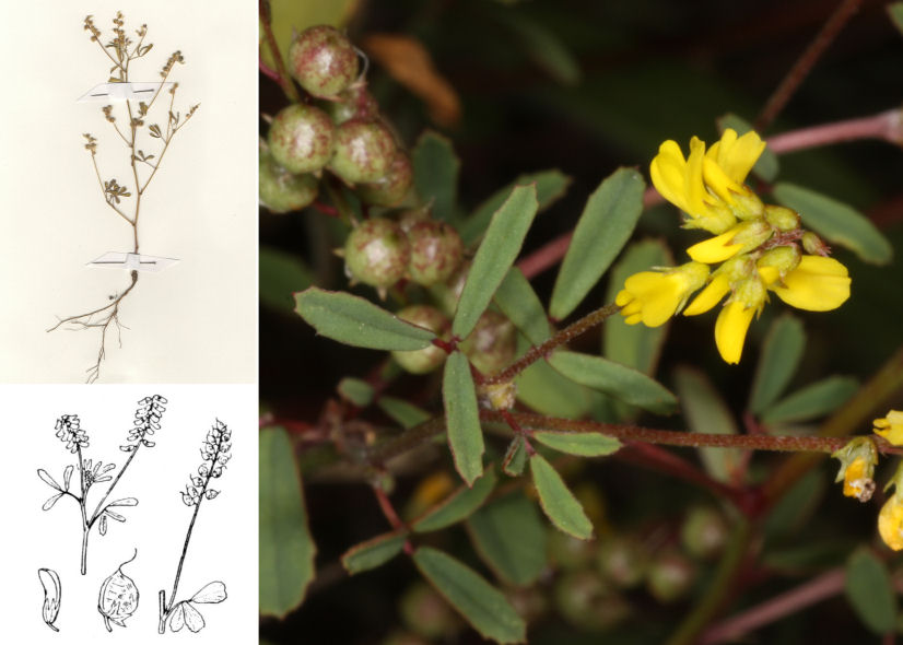 by © D. Camprini,© Hortus Botanicus Catinensis - Herb. Sheet 106990, © H. Coste<br>