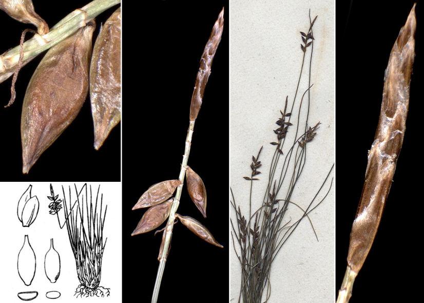© Dipartimento di Scienze della Vita, Università degli Studi di Trieste<br>by Andrea Moro, © Hortus Botanicus Catinensis - Herb. sheet 000772<br><br>Distributed under CC-BY-SA license.