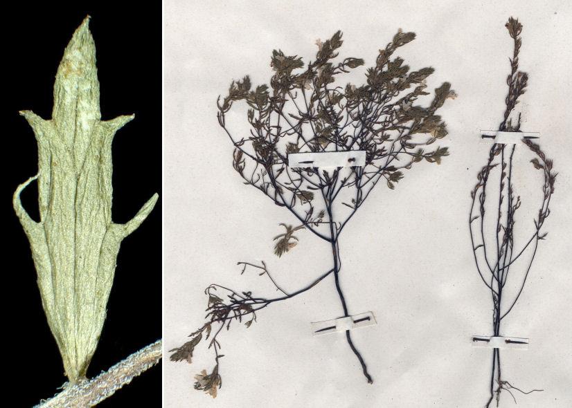 © Dipartimento di Scienze della Vita, Università degli Studi di Trieste<br>by Andrea Moro, © Hortus Botanicus Catinensis - Herb. sheet 000856<br><br>Distributed under CC-BY-SA 4.0 license.
