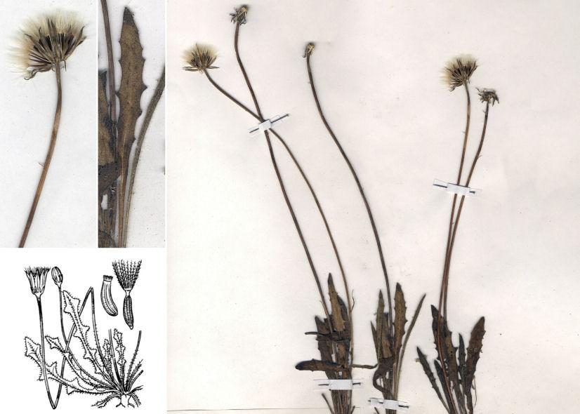 © Dipartimento di Scienze della Vita, Università degli Studi di Trieste<br>by © Hortus Botanicus Catinensis - Herb.sheet 006358, © Hippolyte Coste<br>