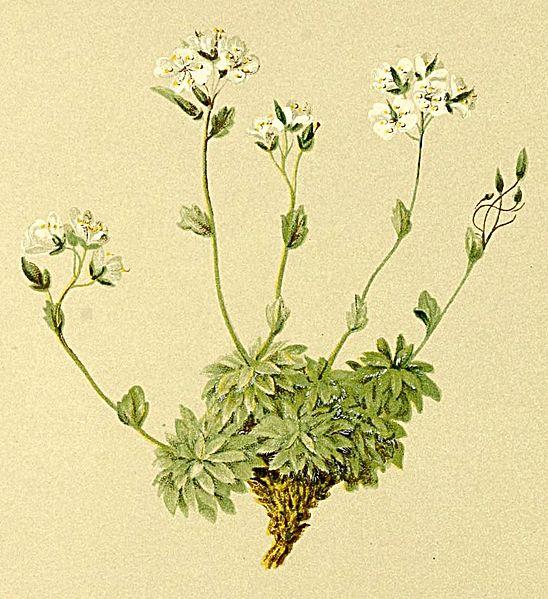 © Anton Hartinger Atlas der Alpenflora. http://www.archive.org/details/atlasderalpenflo00hart<br>