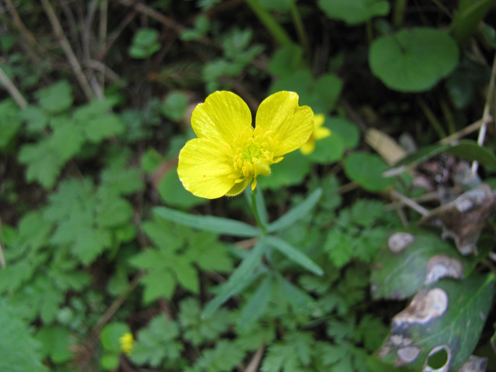 Ranunculus auricomus L. s.l.<br>© Spela Novak<br>by Spela Novak<br>Triglav National Park, Slovenia,