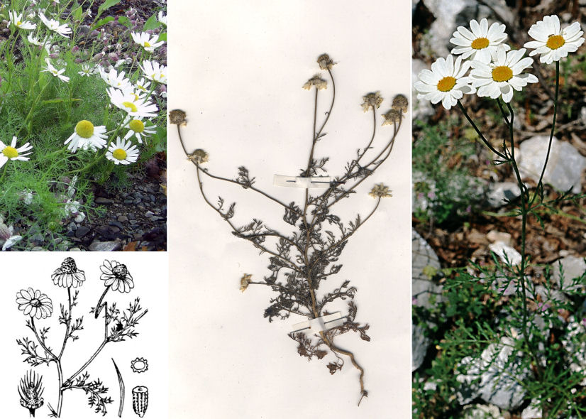 by © Giovanni Galetti, © Hortus Botanicus Catinensis - Herb. sheet 000554, © Hippolyte Coste <br>
