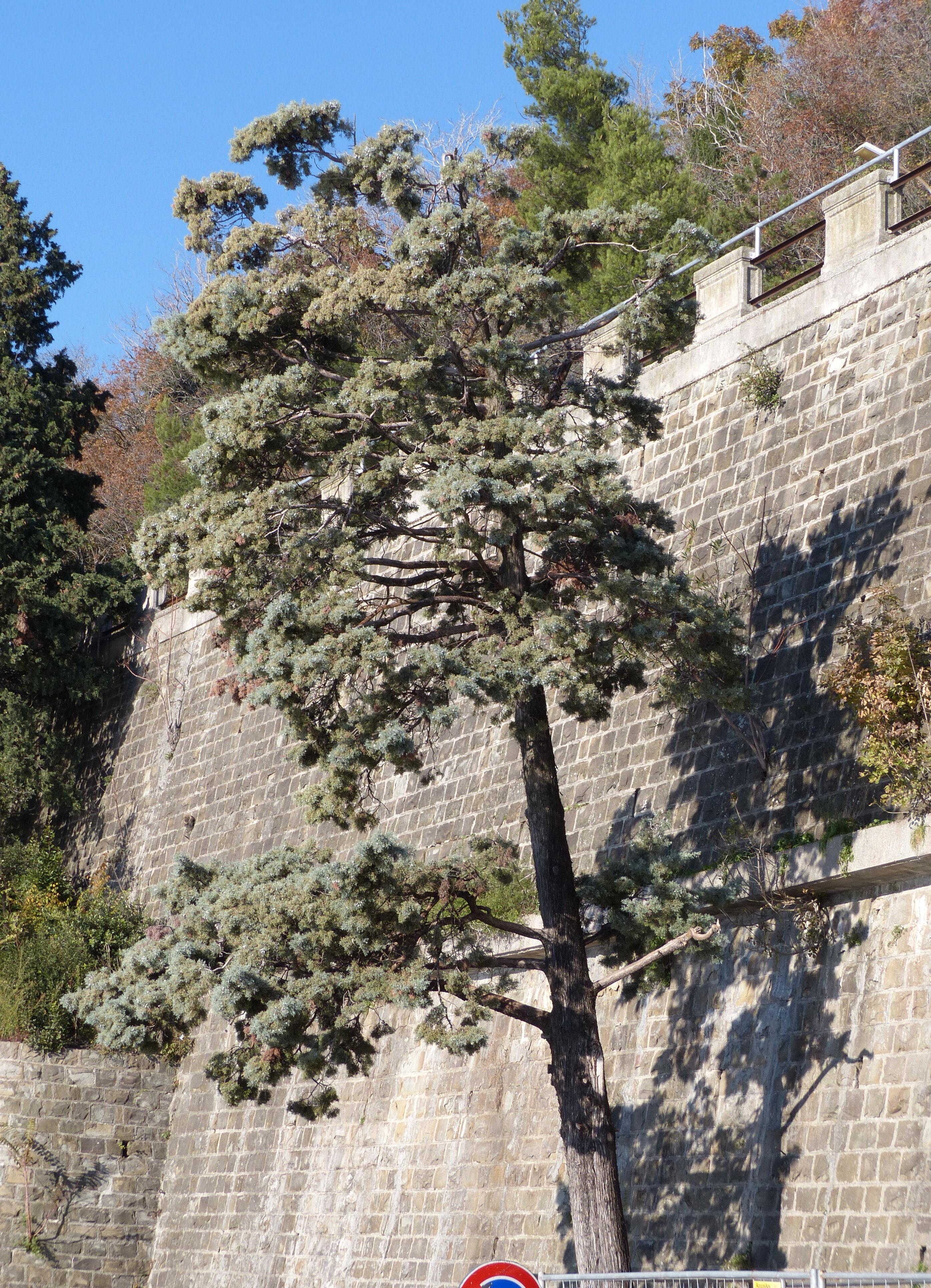 © Dipartimento di Scienze della Vita, Università degli Studi di Trieste<br>by Andrea Moro<br>Comune di Trieste, Lungomare di Barcola, TS, Friuli Venezia Giulia, Italia, 29/11/2013<br>Distributed under CC-BY-SA 4.0 license.