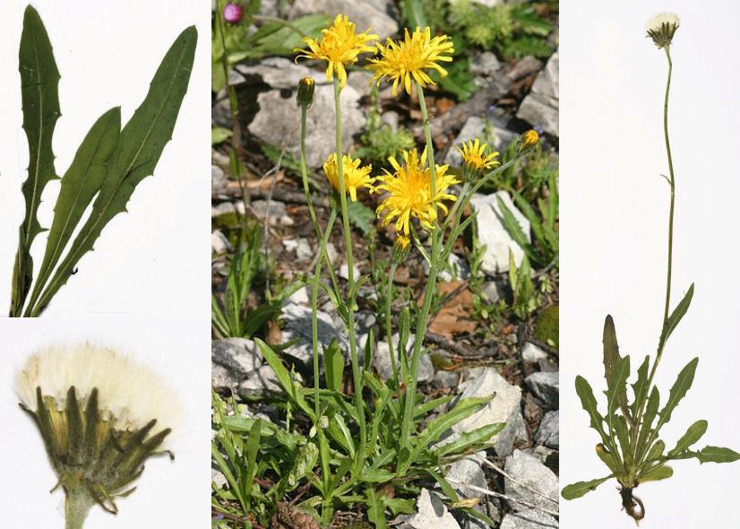 by © HermannSchachner Creative Commons, © Röpert, D. (Ed.) 2000- : Digital specimen images at the Herbarium Berolinense<br>