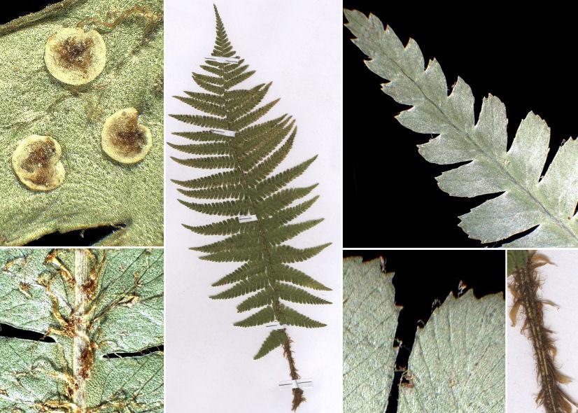 © Dipartimento di Scienze della Vita, Università di Trieste<br>by Andrea Moro, © Hortus Botanicus Catinensis - Herb. sheet 002867<br><br>Distributed under CC-BY-SA 4.0 license.