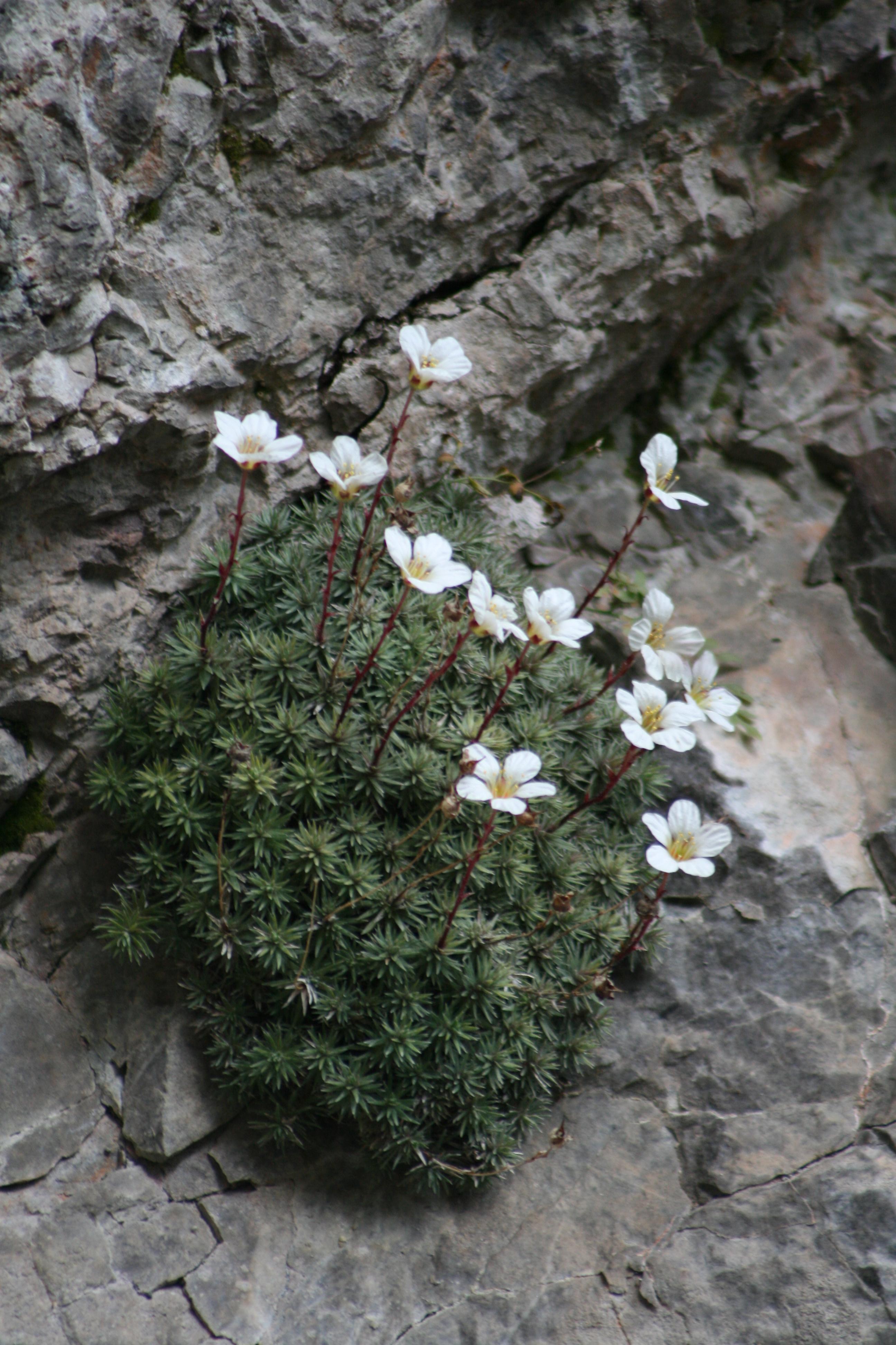 © Vid Leban (Botanical Society of Slovenia)<br>by Vid Leban (Botanical Society of Slovenia)<br>
