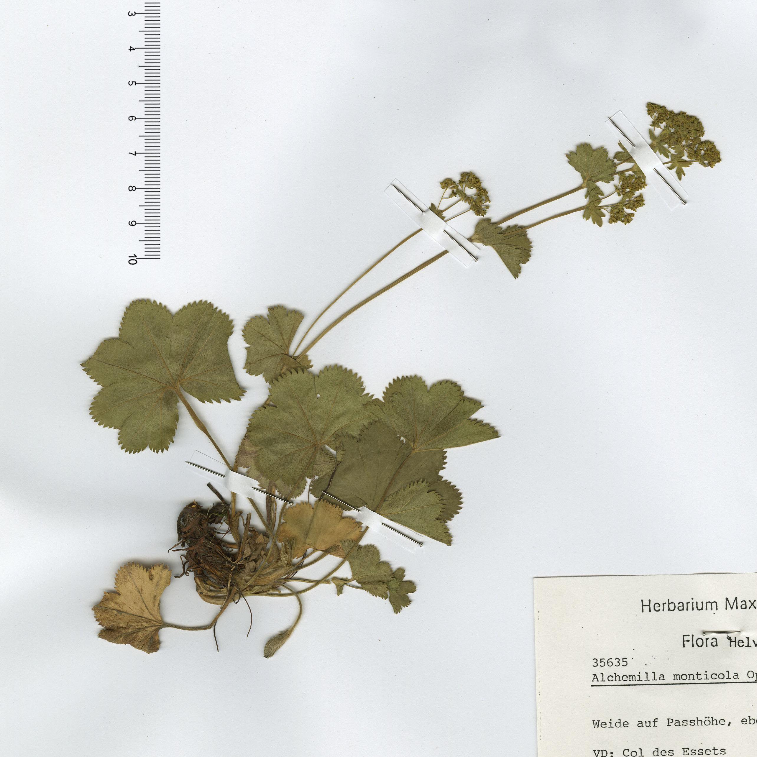 by © Hortus Botanicus Catinensis - Herb. sheet 031747<br>
