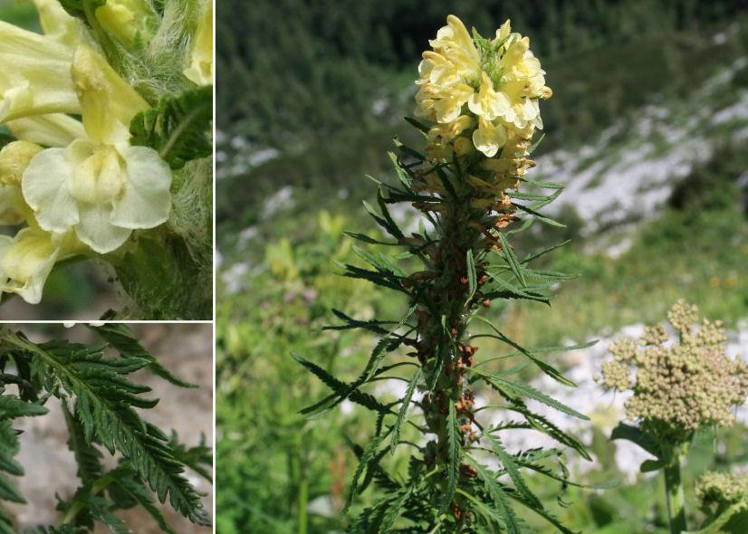 by © Jerzy Opioła – Wikimedia Commons, © Vid Leban (Botanical Society of Slovenia)<br>