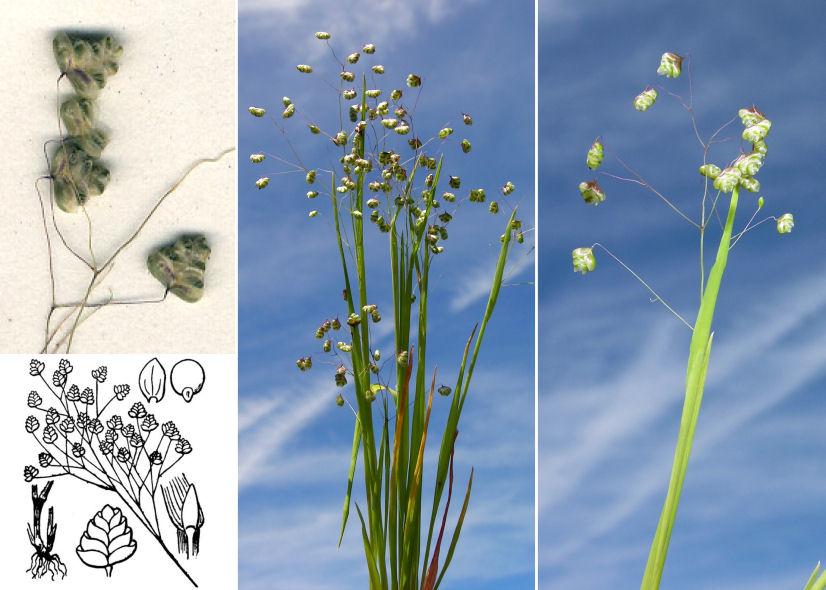 © Dipartimento di Scienze della Vita, Università di Trieste<br>by Andrea Moro, © Hortus Botanicus Catinensis - Herb. sheet 071153, © Hippolyte Coste<br><br>Distributed under CC-BY-SA 4.0 license.