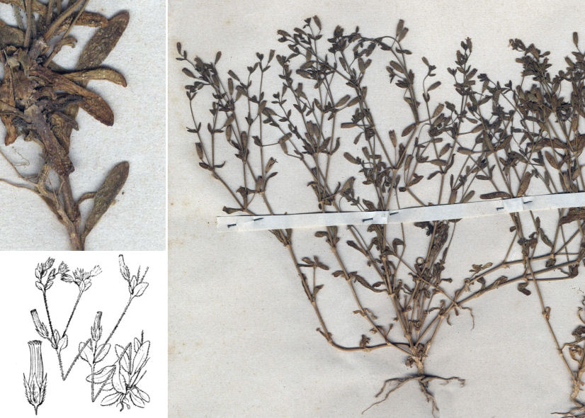 by © Hortus Botanicus Catinensis - Herb. sheet 003169, © Hippolyte Coste<br>
