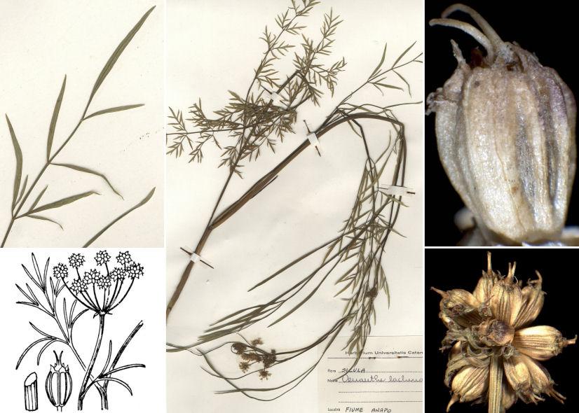 © Dipartimento di Scienze della Vita, Università di Trieste<br>by © Hortus Botanicus Catinensis - Herb. sheet 058212, Andrea Moro, © Hippolyte Coste<br><br>Distributed under CC BY-SA 4.0 license.