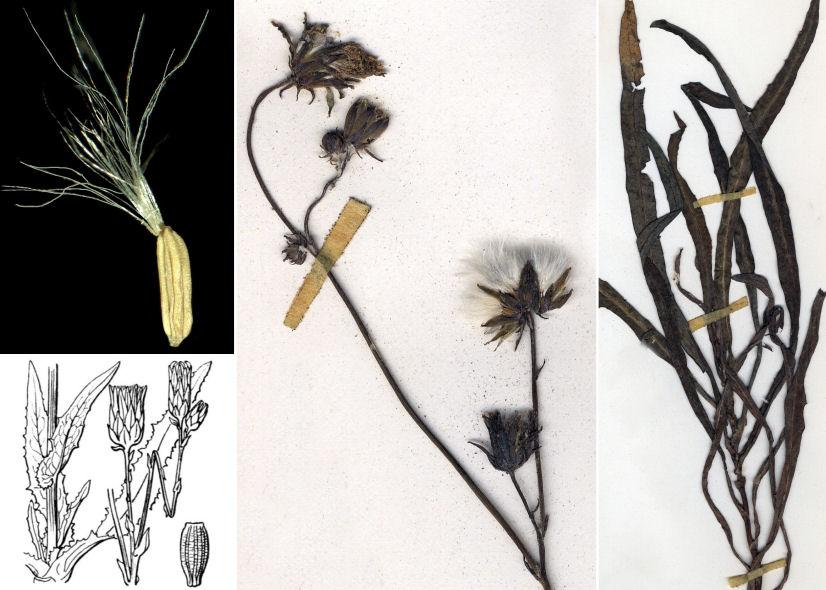 © Dipartimento di Scienze della Vita, Università di Trieste<br>by © Hortus Botanicus Catinensis - Herb. sheet 008044, © Hippolyte Coste<br>