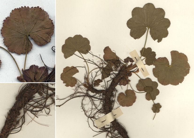 © Dipartimento di Scienze della Vita, Università di Trieste<br>by © Hortus Botanicus Catinensis - Herb. sheet 048763<br>