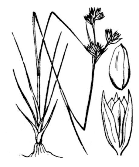 © Hippolyte Coste - Flore descriptive et illustrée de la France, de la Corse et des contrées limitrophes, 1901-1906 - Public Domain (copyright expired).<br>