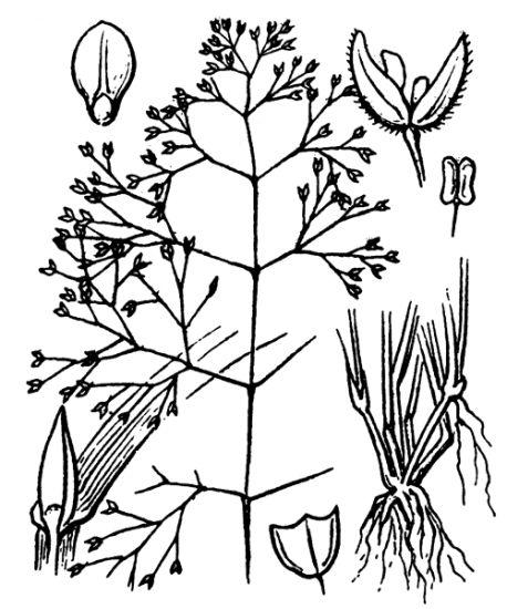 © Hippolyte Coste - Flore descriptive et illustrée de la France, de la Corse et des contrées limitrophes, 1901-1906 - This image is in public domain because its copyright has expired.<br>