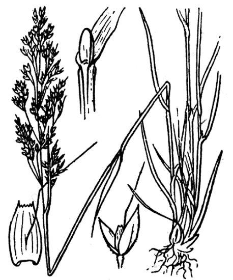 © Flore descriptive et illustrée de la France, de la Corse et des contrées limitrophes, 1901-1906 - This image is in public domain because its copyright has expired.<br>