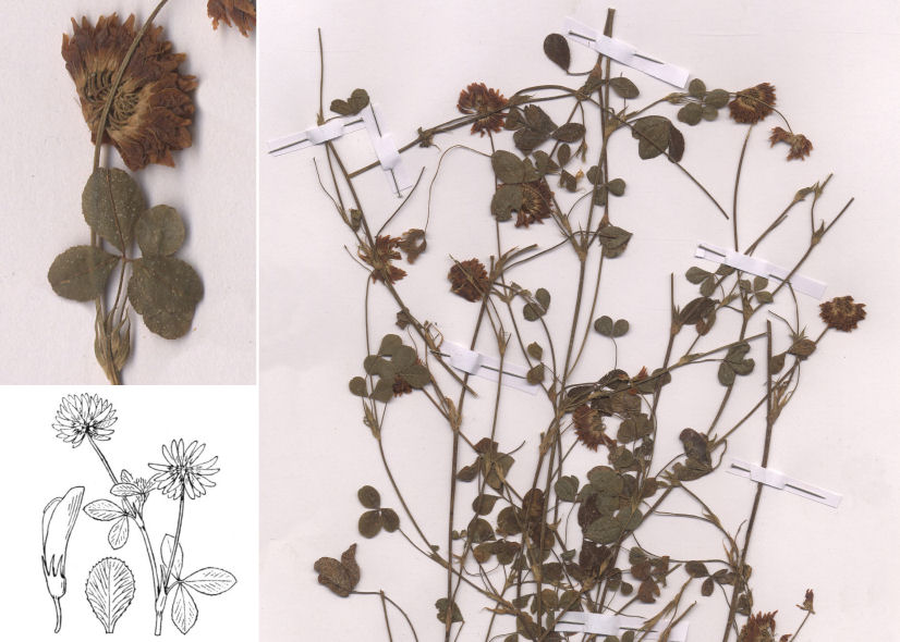 by © Hortus Botanicus Catinensis - Herb. sheet 000345, © Hippolyte Coste<br>