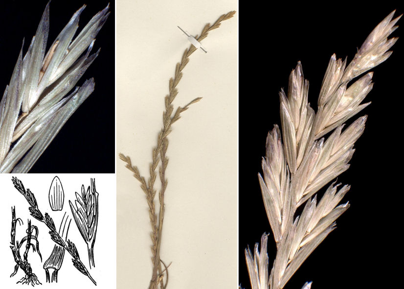 © Dipartimento di Scienze della Vita, Università degli Studi di Trieste<br>by Andrea Moro, © Hortus Botanicus Catinensis - Herb. sheet 073949, © Hippolyte Coste<br><br>Distributed under CC-BY-SA license.