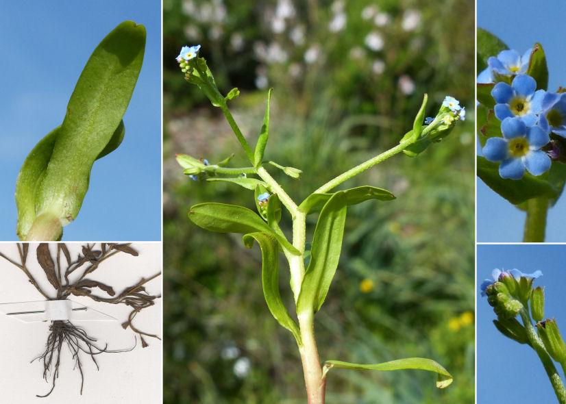 © Dipartimento di Scienze della Vita, Università degli Studi di Trieste<br>by Andrea Moro, © Hortus Botanicus Catinensis - Herb. sheet 101875<br><br>Distributed under CC-BY-SA license.