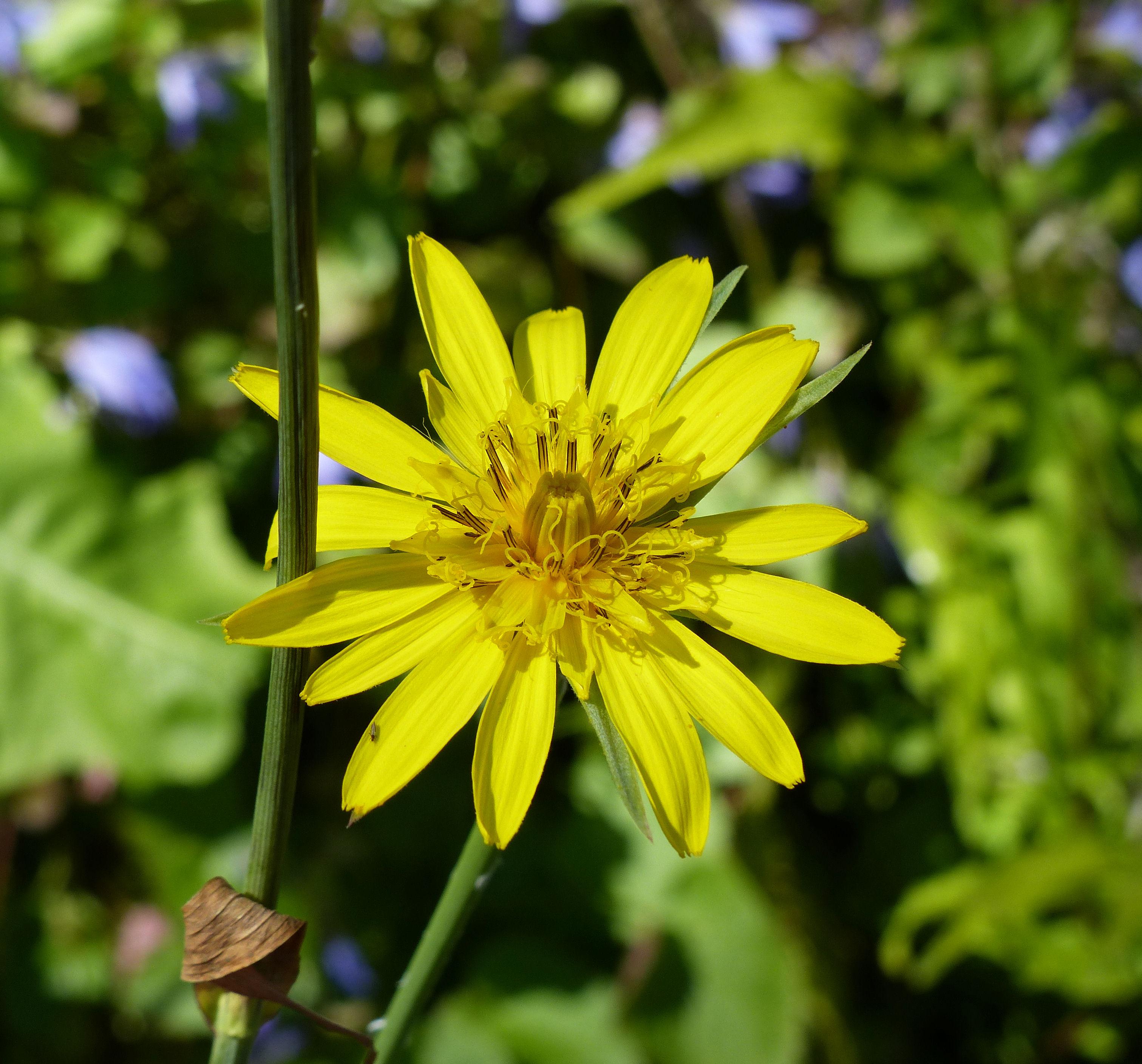 by Andrea Moro<br>Comune di Trieste, Civico Orto Botanico, TS, Friuli Venezia Giulia, Italia, 03/06/2014<br>Distributed under CC-BY-SA 4.0 license.
