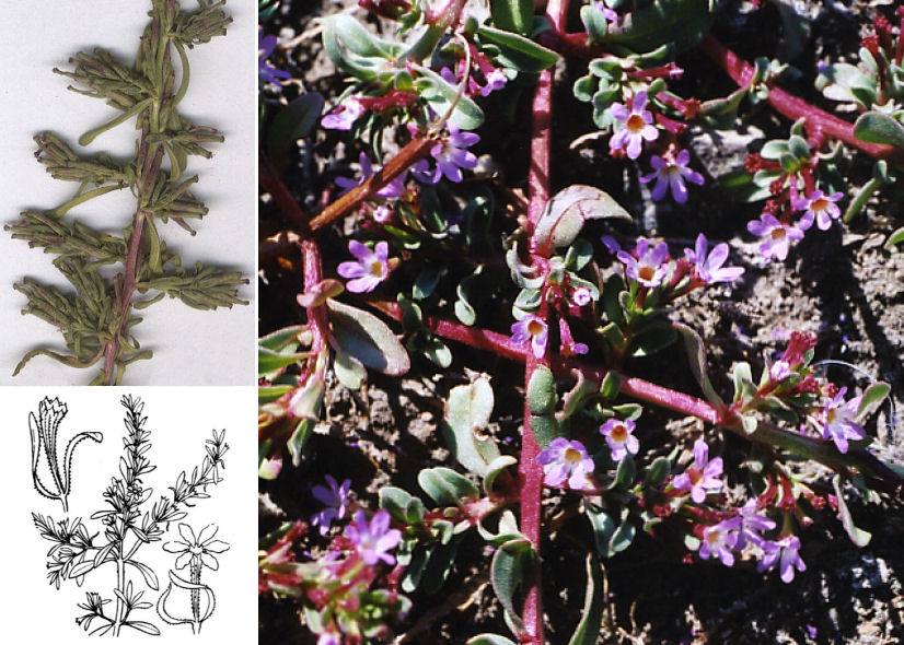 by © 2006 Doreen L. Smith, © Hortus Botanicus Catinensis - Herb. sheet 013879, © Hippolyte Coste<br>