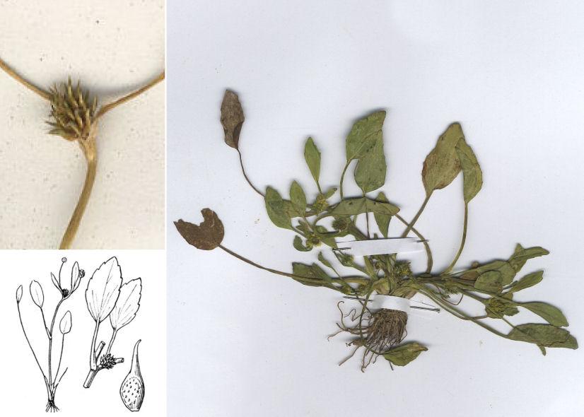 &copy; Dipartimento di Scienze della Vita, Università degli Studi di Trieste<br>by © Hortus Botanicus Catinensis - Herb. sheet 030779, Herb. sheet 48289, © Hippolyte Coste<br>