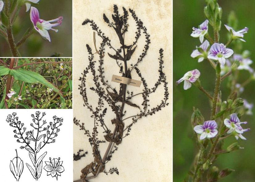 by © Mirna & Attilio Marzorati - Forum Acta Plantarum, © Hortus Botanicus Catinensis - Herb. Sheet 057127, © Hippolyte Coste<br>