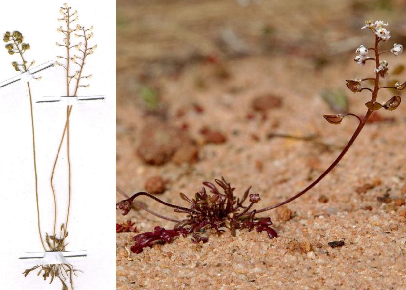 by © José Quiles Hoyo - http://www.florasilvestre.es, © Hortus Botanicus Catinensis - Herb. sheet 009752<br>