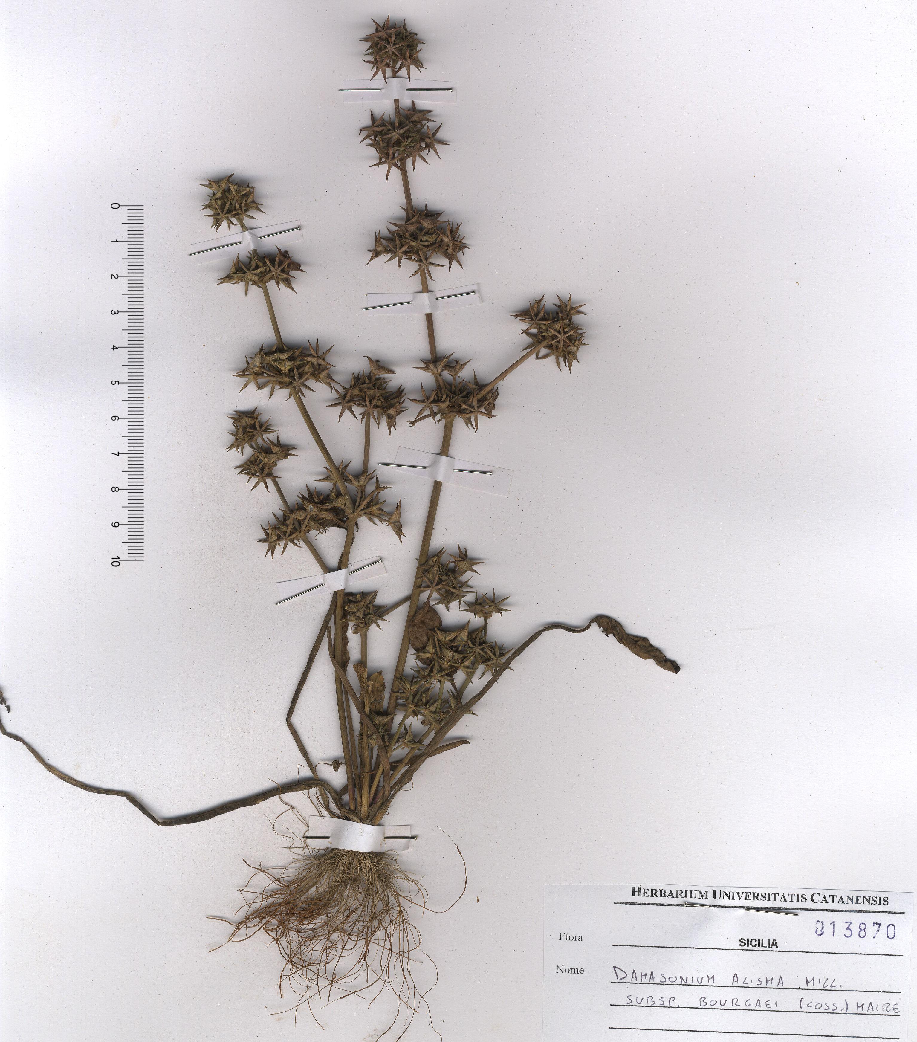 by © Hortus Botanicus Catinensis - Herb. sheet 013870<br>