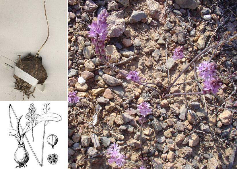 by © Retama – Wikimedia Commons, © Hortus Botanicus Catinensis - Herb. sheet 007889, © Hippolyte Coste<br>