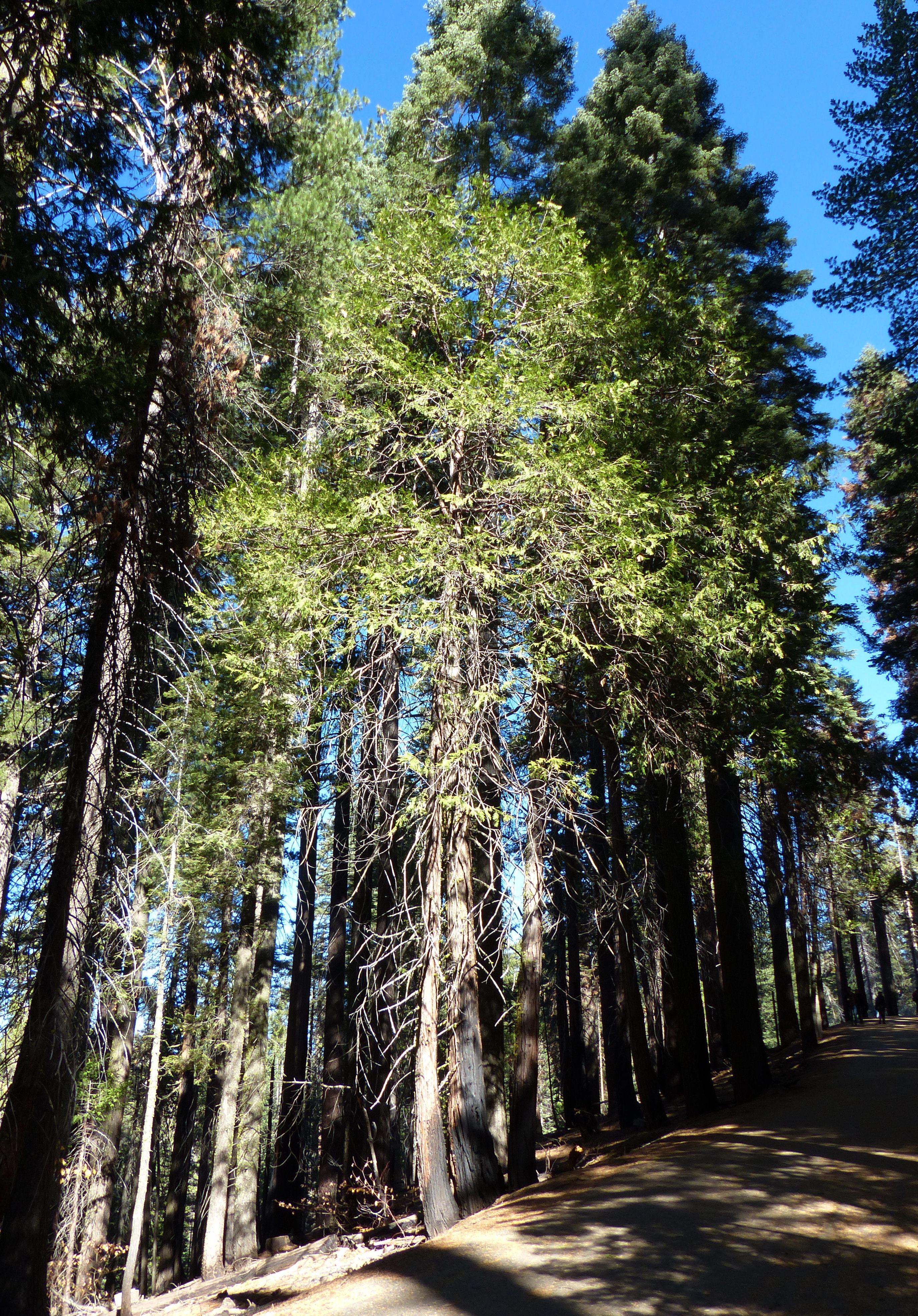 © Dipartimento di Scienze della Vita, Università di Trieste<br>by Andrea Moro<br>Yosemite National Park, California, U.S.A., 10/11/2014<br>Distributed under CC-BY-SA 4.0 license.