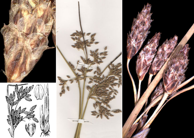 © Dipartimento di Scienze della Vita, Università di Trieste<br>by © Hortus Botanicus Catinensis - Herb. sheet 101463, Andrea Moro, © Hippolyte Coste<br><br>Distributed under CC-BY-SA 4.0 license.