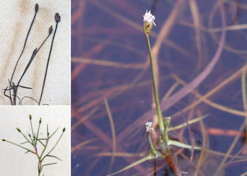 by © Jan Kops et al., © Yu Ito (2012), © Hortus Botanicus Catinensis - Herb. sheet 000705<br>