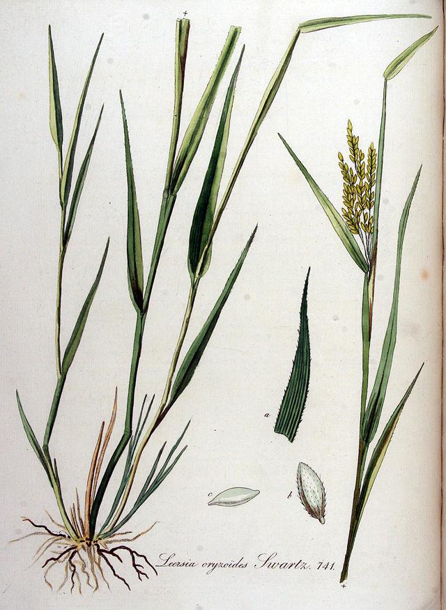 © Flora Batava. Afbeelding en Beschrijving der Nederlandsche Gewassen. XVIII. Deel. (1889) - Public Domain<br>