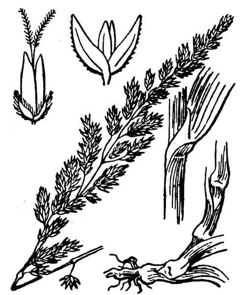 &copy; Hippolyte Coste - Flore descriptive et illustrée de la France, de la Corse et des contrées limitrophes, 1901-1906 - Public domain - copyright expired<br>