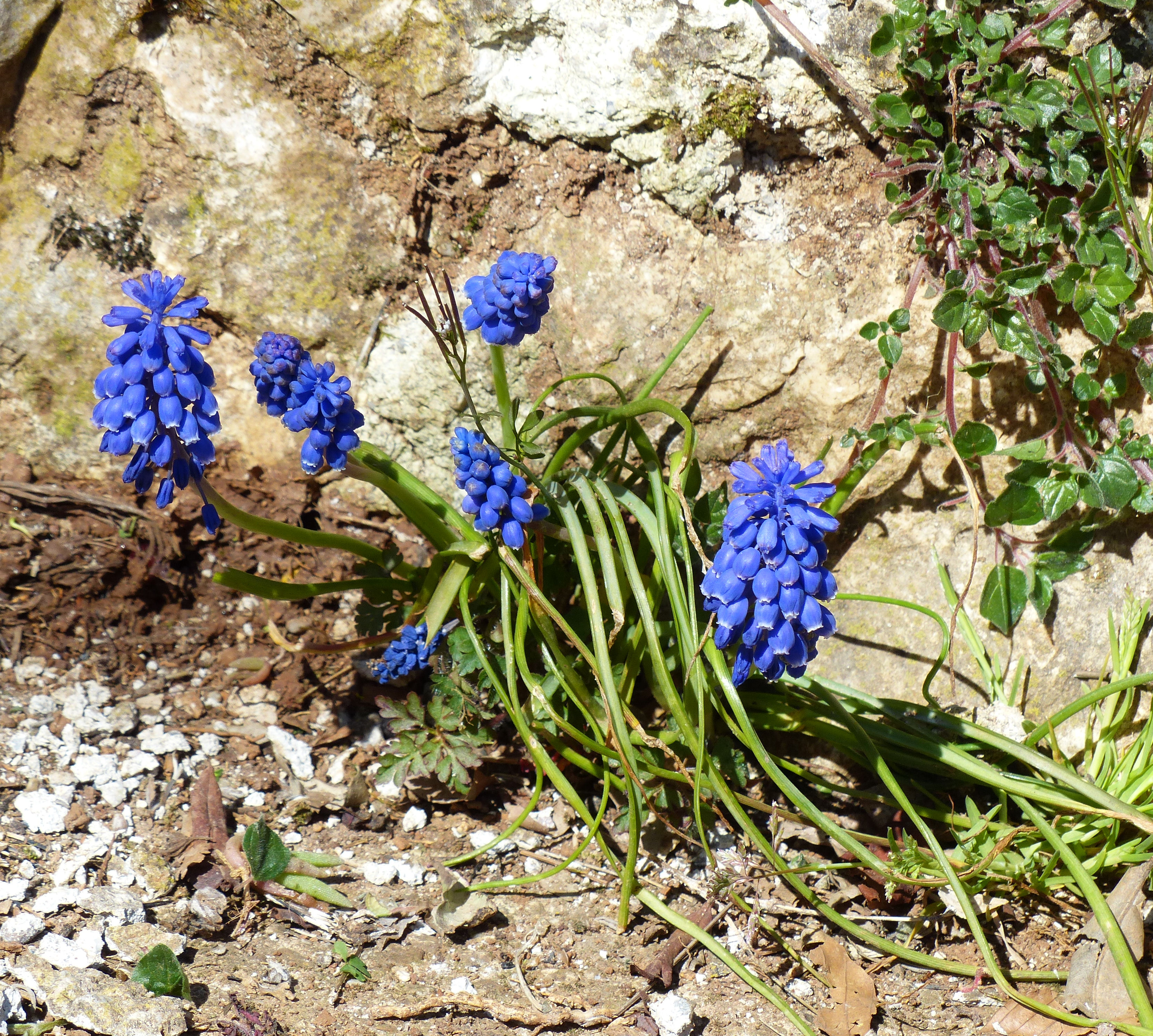 © Dipartimento di Scienze della Vita, Università di Trieste<br>by Andrea Moro<br>Comune di Serle, giardino, BS, Lombardia, Italia, 07/04/2015<br>Distributed under CC-BY-SA 4.0 license.