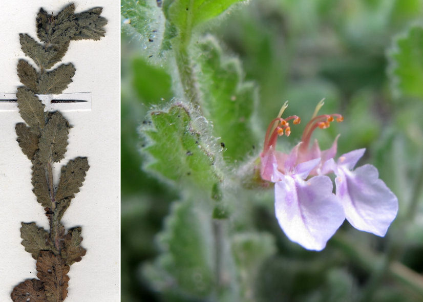 by © Pancrazio Campagna - http://floranelsalento.blogspot.it, © Hortus Botanicus Catinensis - Herb. sheet 061781<br>