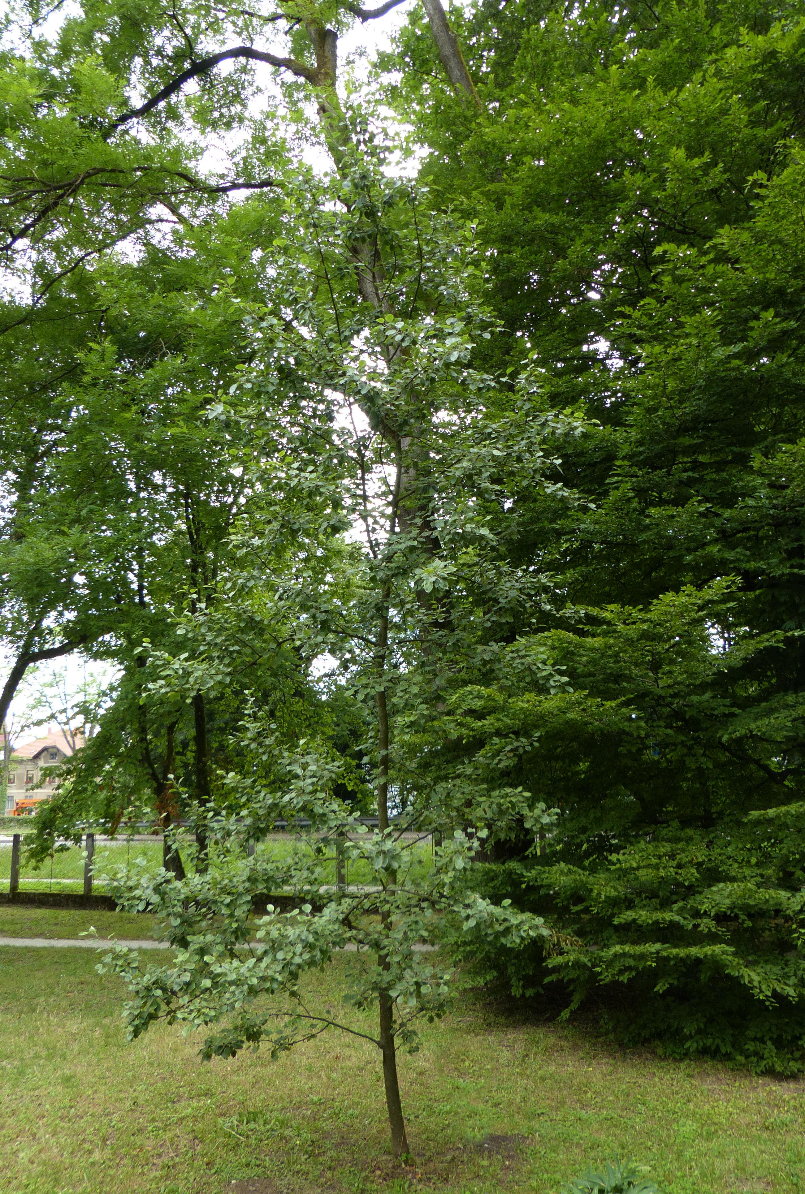 © Dipartimento di Scienze della Vita, Università di Trieste<br>by Andrea Moro<br>Ljubljana, Botanical Gardens of the University of Ljubljana / Botanični vrt Univerze v Ljubljani, Osrednjeslovenska, Slovenia / Slovenija, 19/06/2015<br>Distributed under CC-BY-SA 4.0 license.