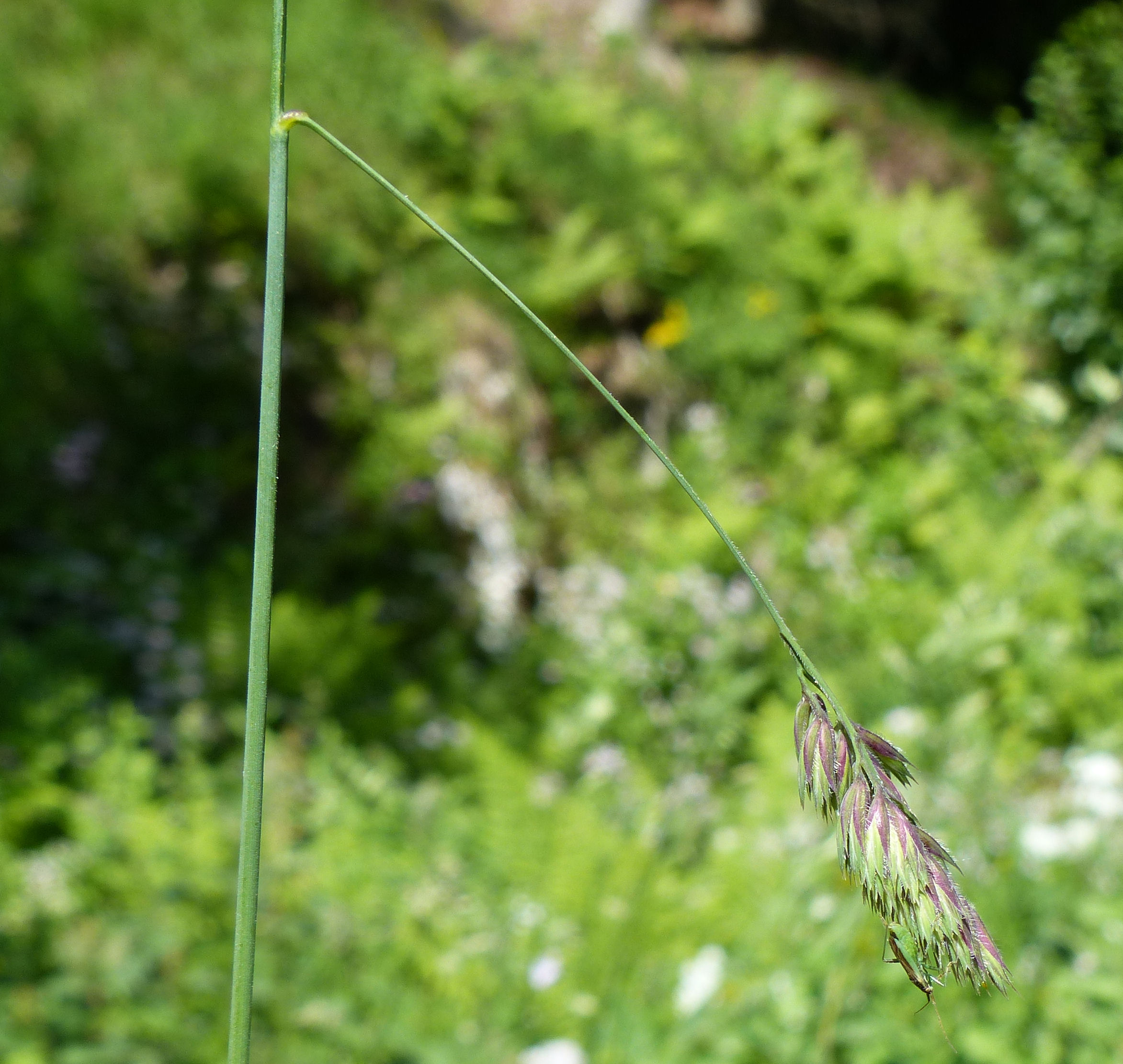 © Dipartimento di Scienze della Vita, Università di Trieste<br>by Andrea Moro<br>Monte Faverghera, Giardino botanico delle Alpi Orientali, BL, Veneto, Italia, 08/07/2015<br>Distributed under CC-BY-SA 4.0 license.
